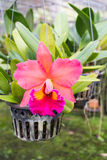 Pink Cattaliya Orchid Royalty Free Stock Photos