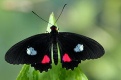 The Pink Cattleheart Butterfly Royalty Free Stock Photos