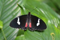 Pink Cattleheart butterfly Stock Photo