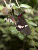 Pink Cattleheart Butterfly Stock Photos