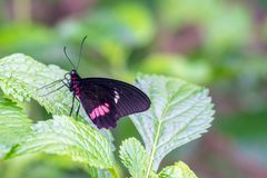 Pink cattleheart butterfly perched on lush green leaf Stock Image