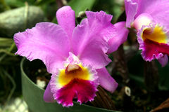 Pink cattleya orchid. Single pink cattleya type orchid in Panama stock images