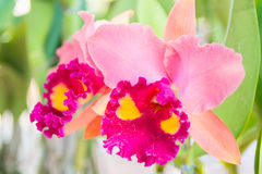 Pink Cattleya orchid. Beautiful pink Cattleya  orchid in Thailand,Close up of beautiful orchid Stock Photos