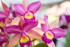 Pink Cattleya orchid. Beautiful Cattleya  orchid in Thailand,Close up of beautiful orchid Stock Image