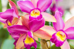 Pink Cattleya orchid. Beautiful Cattleya  orchid in Thailand,Close up of beautiful orchid Royalty Free Stock Photography