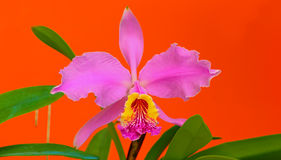 Pink cattleya orchid. Close up of exotic pink cattleya orchid against orange color background Royalty Free Stock Photography