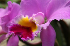 Pink cattleya orchid closeup Stock Photos
