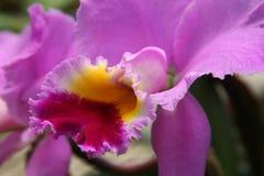 Pink Cattleya Orchid Closeup Stock Photos