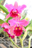 Pink Cattleya orchid Stock Photo