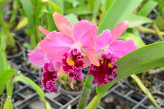 Pink Cattleya orchid Royalty Free Stock Images