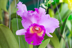 Pink Cattleya Orchid Flower. Royalty Free Stock Image