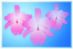 Pink cattleya orchid Royalty Free Stock Image