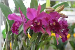 Pink cattleya orchids Royalty Free Stock Photography