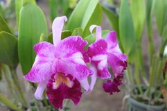 Pink cattleya orchids Stock Images