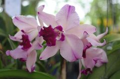 Pink cattleya orchids. In a garden royalty free stock photography