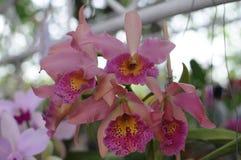 Pink cattleya orchids Stock Photos