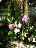 Pink Cattleya orchids.  royalty free stock photos
