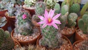 Pink Catus flower Stock Image