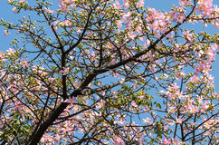 Pink ceiba speciosa Stock Images