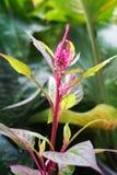 Pink Celosia argentea flower Stock Photo