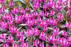 Pink Celosia Stock Images