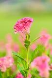 Pink Celosia argentea Stock Photography