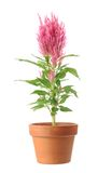 Pink Celosia argentea in vase Stock Photos