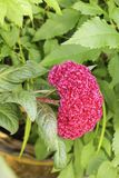 Pink Celosia and green leaf in the flowerpot. Zoom shot to Pink Celosia with around green leaf background in the flowerpot stock photos