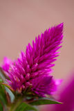 Pink celosia venezuela flower. In closeup Stock Photos