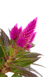 Pink Celosia Venezuela plant Royalty Free Stock Photography
