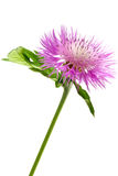 Pink centaurea dealbata flower Royalty Free Stock Image
