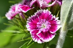 Pink Shades Flower in the Sunlight. Pink centered with white highlights wildflower in the sunlight Royalty Free Stock Photography