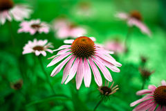 Pink chamomile Royalty Free Stock Photography