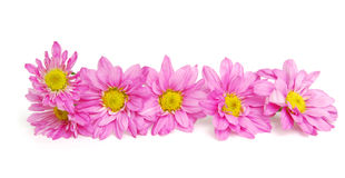 Pink Chamomile flowers Stock Images