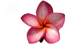 Pink champa flower. Champa flower on white background Stock Images