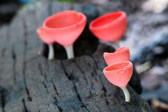Pink Champagne Cup Mushroom on decay wood. Pink Champagne (Cookeina speciosa) Cup Fungi on decay wood, in rain forest, East of Thailand Stock Photo