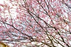 Pink cheery blossom. Close up Stock Photos