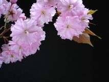 Pink Cherry Blossom. On Black Royalty Free Stock Image