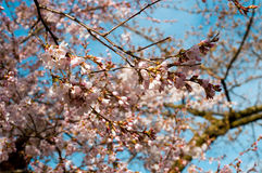 Pink cherry blossom Royalty Free Stock Image