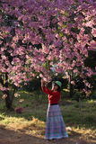 Pink Cherry Blossom. Season blooming stock photography