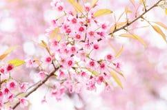 Free Pink Cherry Blossom Stock Photo - 49354840