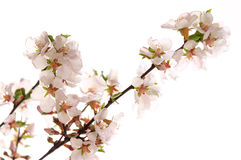 Pink cherry blossom Stock Image
