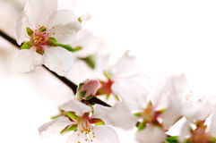 Pink cherry blossom Royalty Free Stock Photos