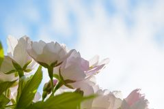 Pink Cherry Blossom Against Blue Sky Background Stock Images