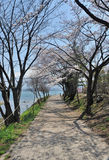 Pink Cherry blossom along the pathway at lake Kawaguchi Royalty Free Stock Image