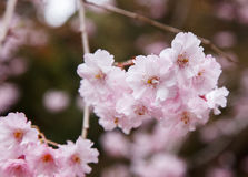 Pink cherry blossom along the pathway in springtime,  Japan Stock Photo