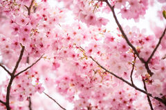 Pink Cherry blossom. Beautiful pink cherry blossom (Sakura) flower at full bloom in Japan Stock Image