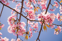 Pink Cherry blossom Stock Photography