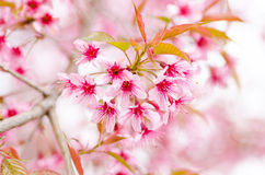 Pink cherry blossom Stock Photos