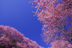 Pink cherry blossom with blue sky Royalty Free Stock Photo